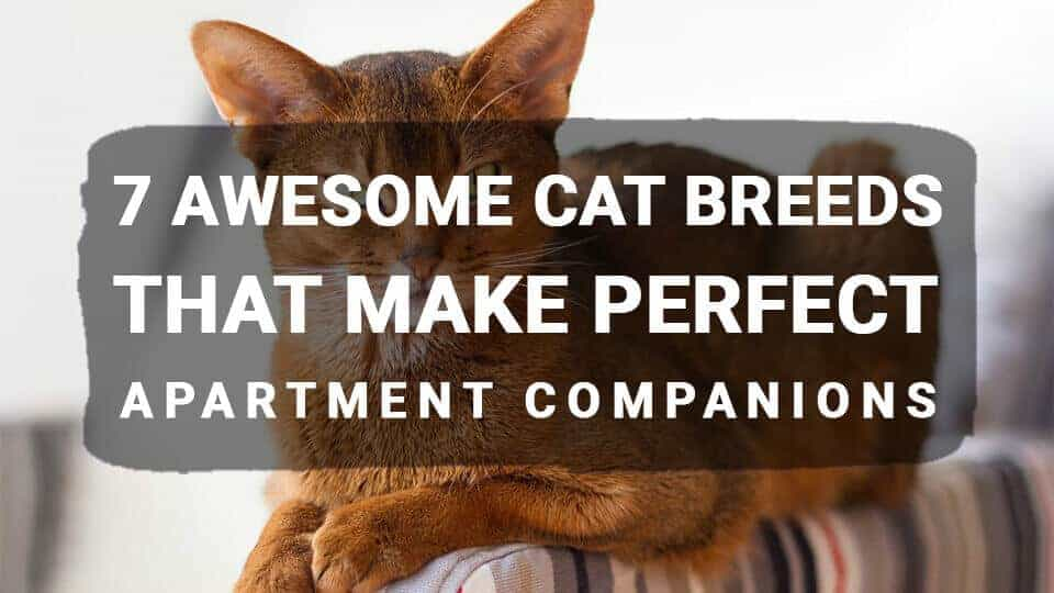 7 Awesome Cat Breeds that make Perfect Apartment Companions