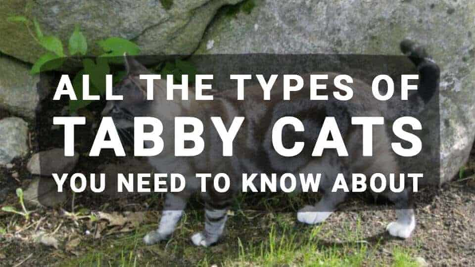 All The Types of Tabby Cats You Need to Know About