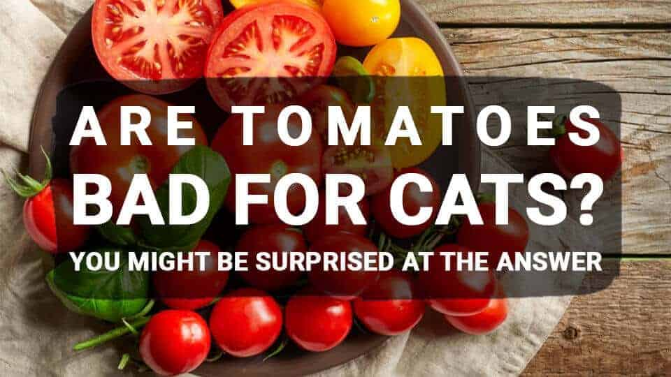 Are Tomatoes Bad for Cats? You Might Be Surprised at the Answer