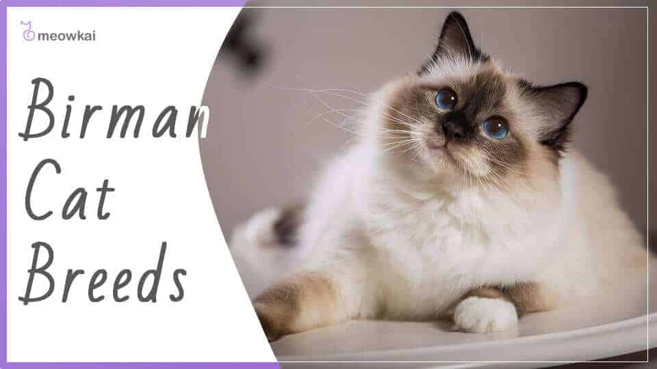 Birman-Cat-Breeds