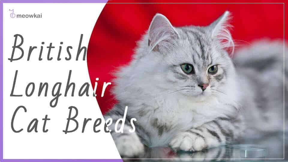 British-Longhair-Cat-Breeds