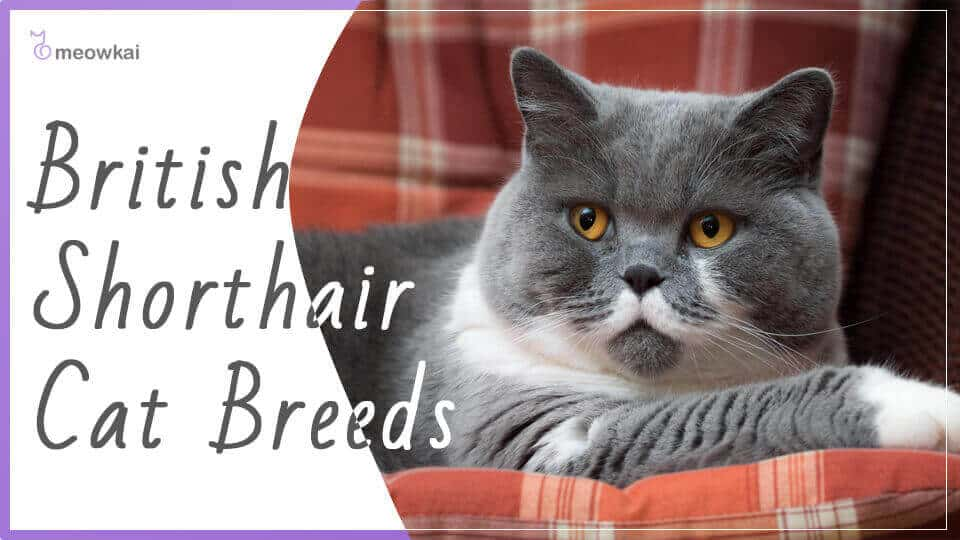 British-Shorthair-Cat-Breed
