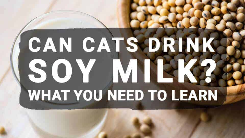 Can Cats Drink Soy Milk? What You Need to Learn