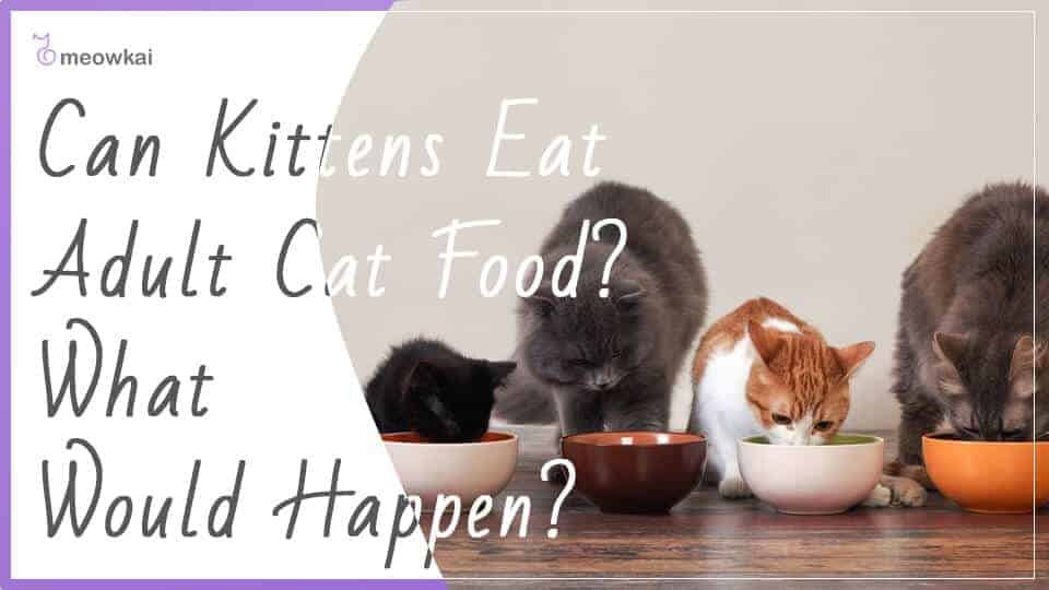 Can-Kittens-Eat-Adult-Cat-Food-what-would-happen