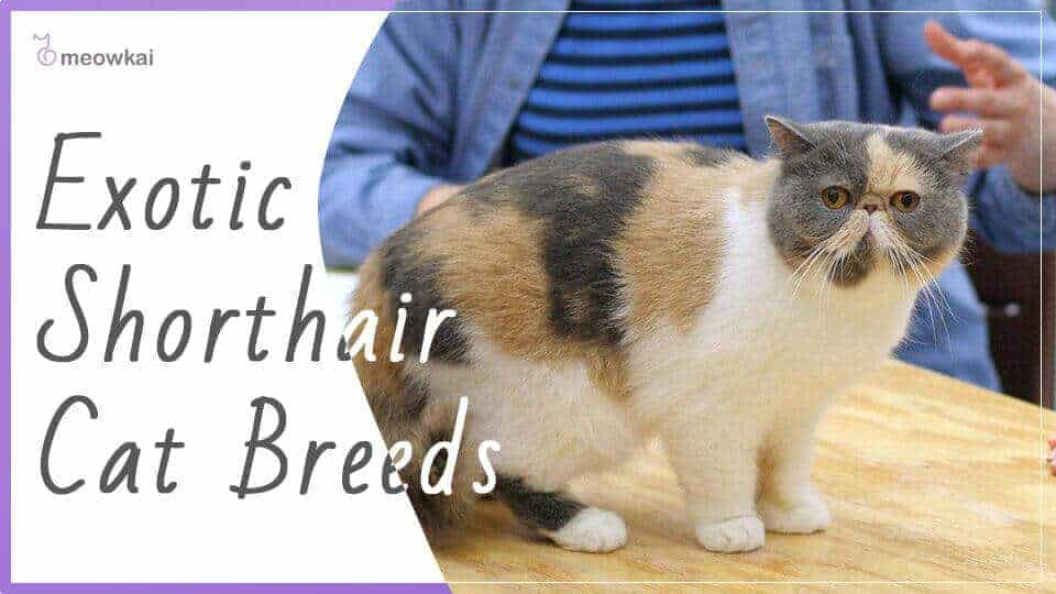 Exotic-Shorthair-Cat-Breed