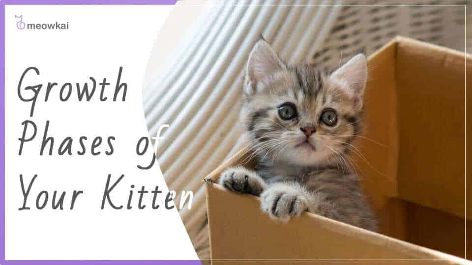 Growth-Phases-of-Your-Kitten