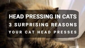 Head Pressing in Cats: 3 Surprising Reasons Your Cat Head Presses
