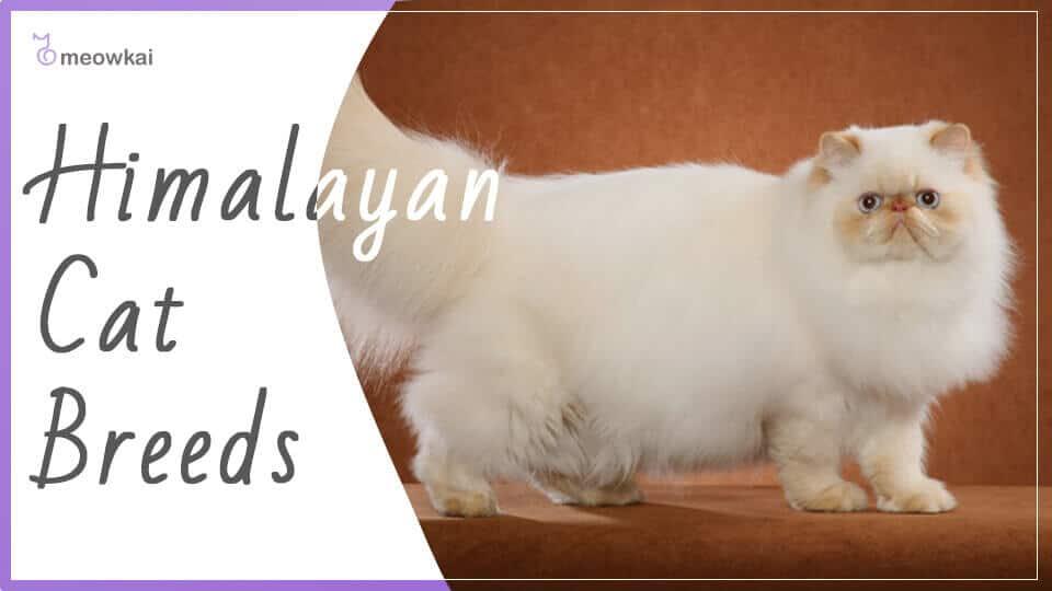 Himalayan-Cat-Breeds
