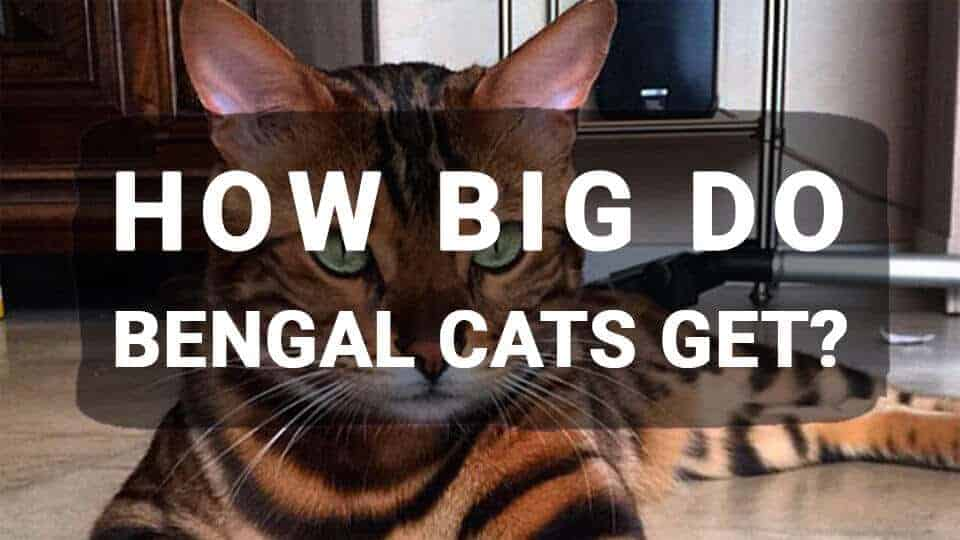How-Big-Do-Bengal-Cats-Get