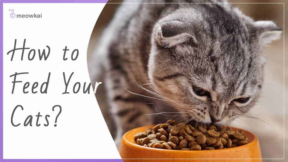 How-to-Feed-Your-Cats