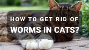 How to Get Rid of Worms in Cats?