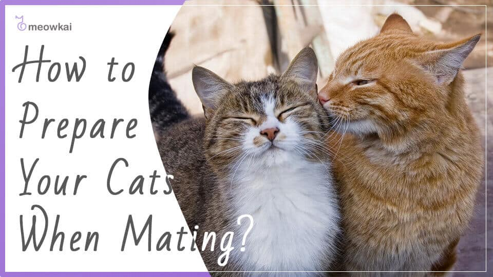 How-to-Prepare-Your-Cats-When-Mating