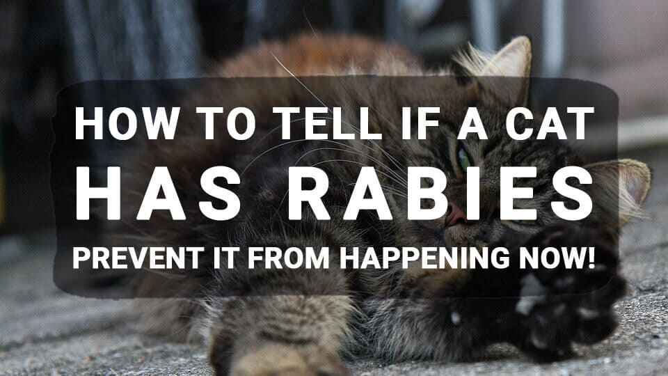 How-to-tell-if-a-cat-has-rabies