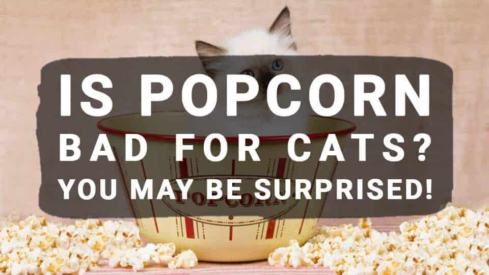 Is-Popcorn-Bad-For-Cats