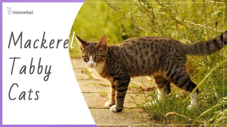 Mackerel-tabby-cats