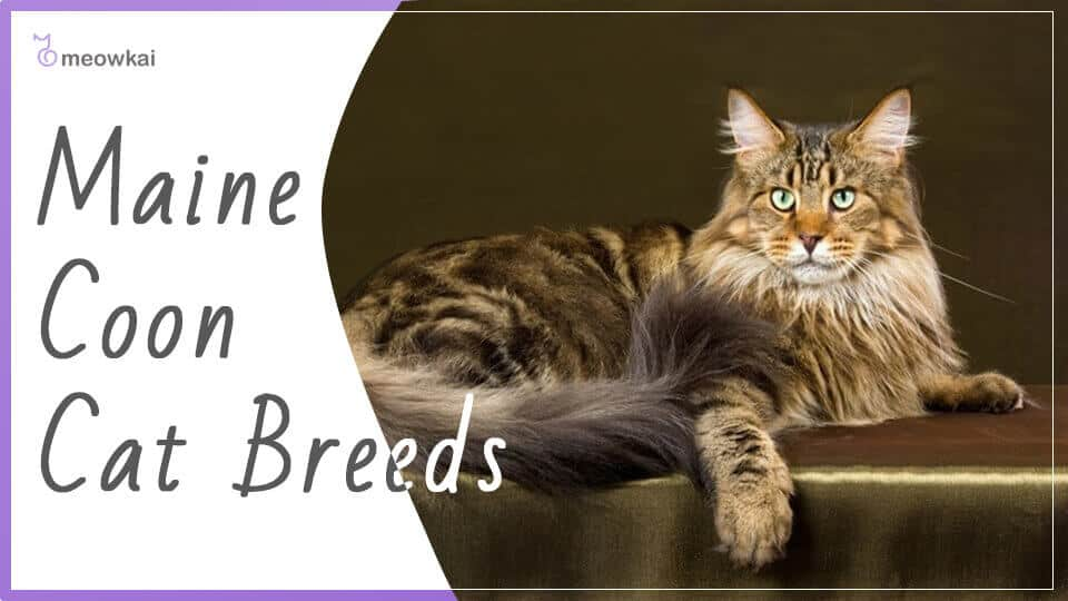 Maine-Coon-Cat-Breeds