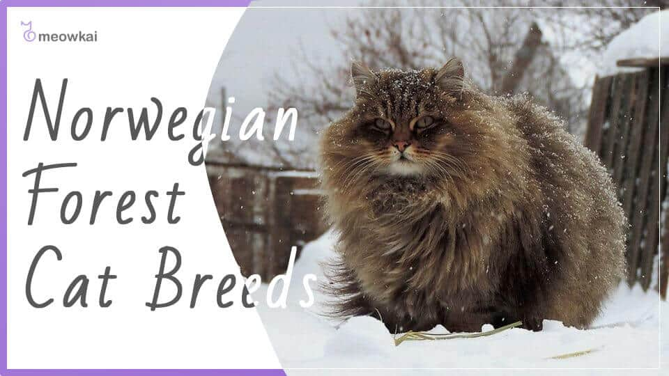 Norwegian-Forest-Cat-Breeds