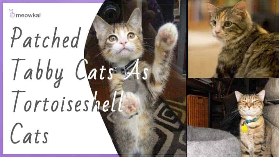 Patched-Tabby-Cats-As-Tortoiseshell-Cats