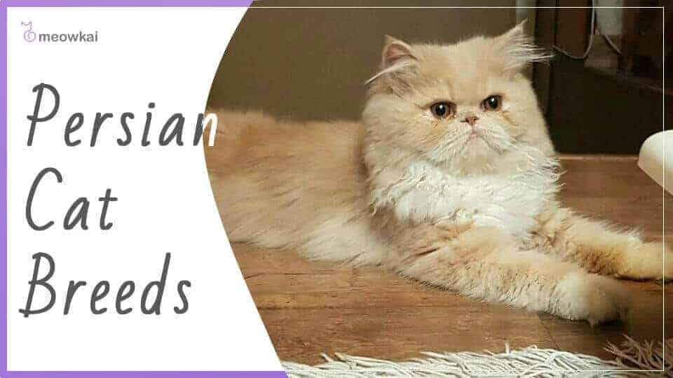 Persian-Cat-Breeds