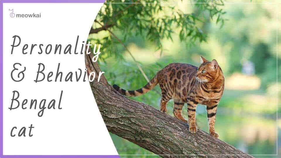Personality-and-behavior-Bengal-cat