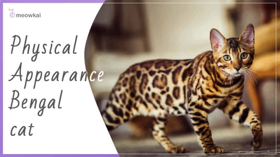 Physical-Appearance-Bengal-cat