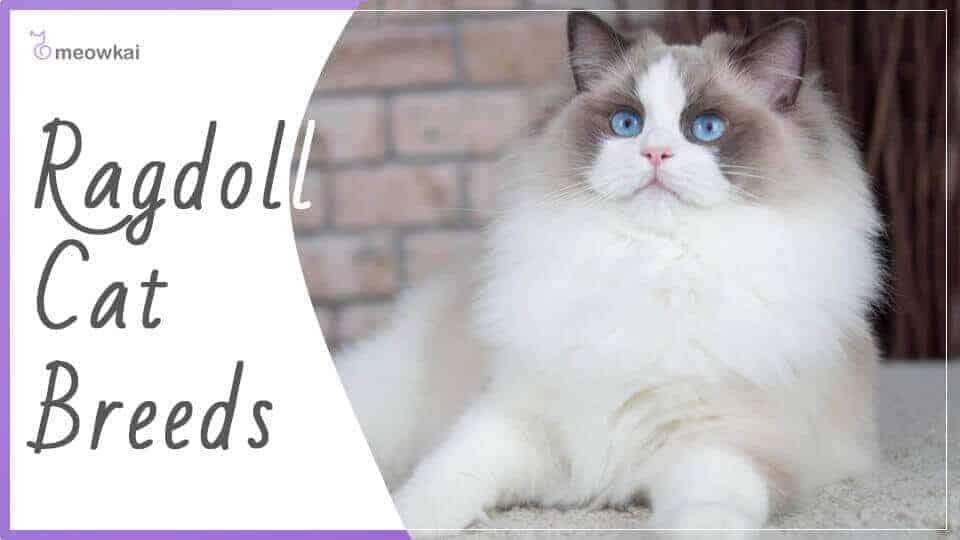 Ragdoll-Cat-Breeds
