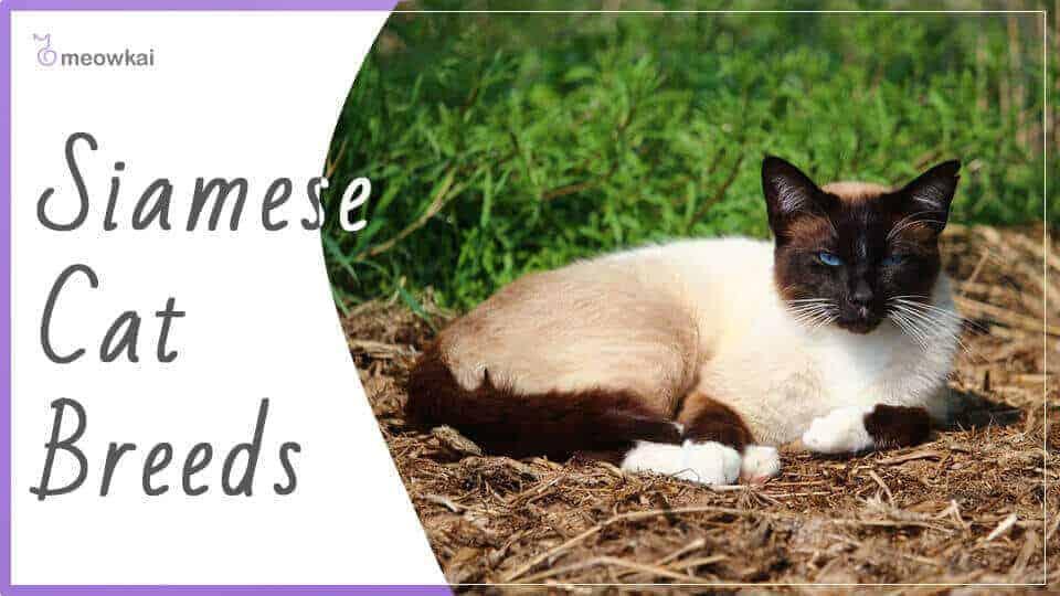 Siamese-Cat-Breeds
