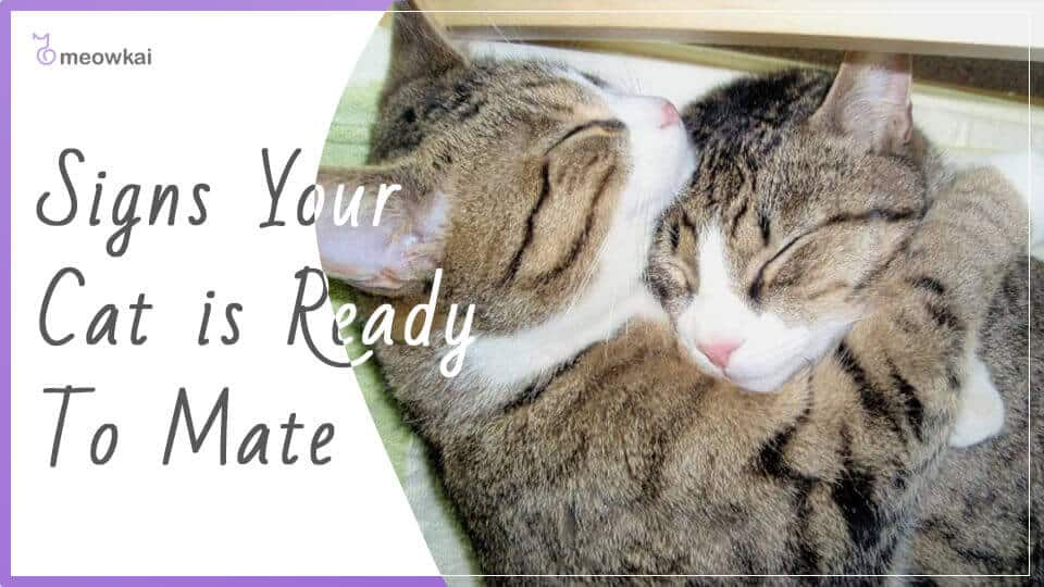 Signs-Your-Cat-is-Ready-To-Mate