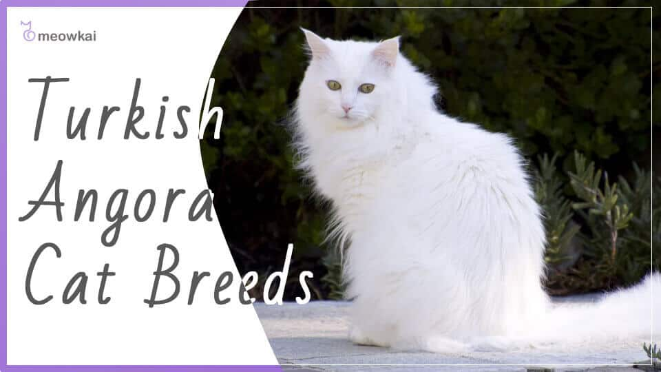 Turkish-Angora-Cat-Breeds