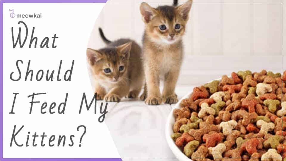 What-Should-I-Feed-My-Kittens