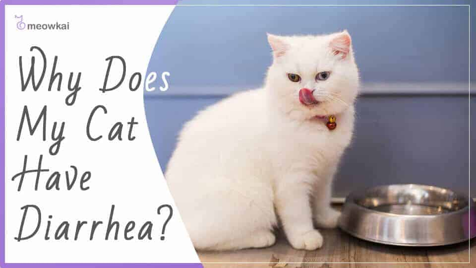 Why-Does-My-Cat-Have-Diarrhea