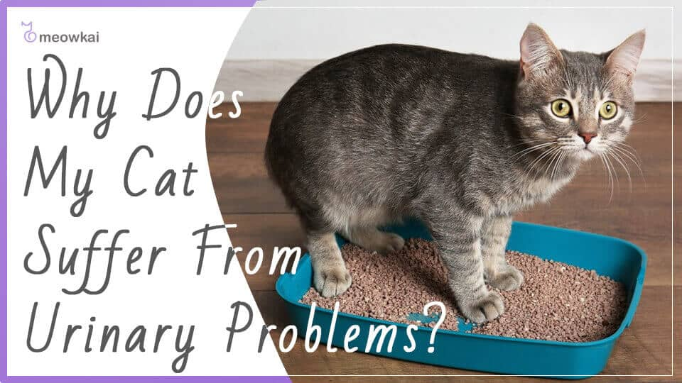 Why-Does-My-Cat-Suffer-From-Urinary-Problems