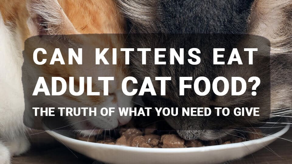 Can Kittens Eat Adult Cat Food? The Truth of What You Need to Give
