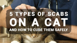 Scabs on Cat: Feline acne, Flea allergy dermatitis, Skin condition treatment – Meowkai