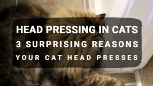 Read more about the article Head Pressing in Cats: 3 Surprising Reasons Your Cat Head Presses