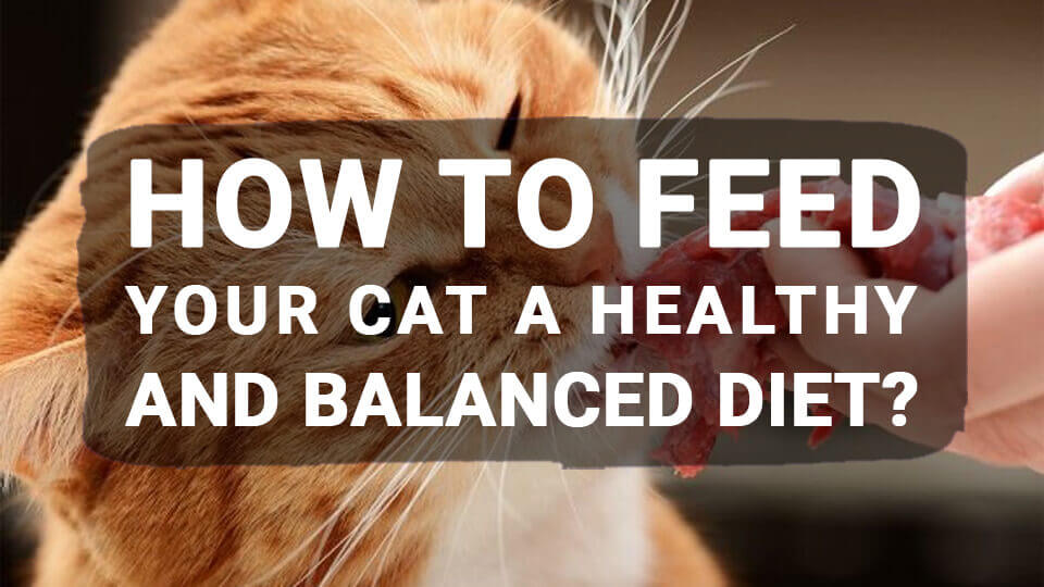 You are currently viewing How to Feed Your Cat a Healthy and Balanced Diet?