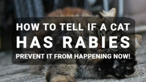 How to tell if a Cat Has Rabies: Prevent It From Happening Now!