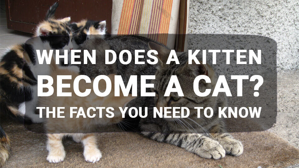 You are currently viewing When Does a Kitten Become a Cat? The Facts You Need to Know