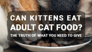 Read more about the article Can Kittens Eat Adult Cat Food? The Truth of What You Need to Give