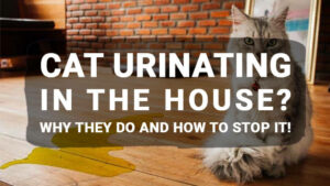 Read more about the article Cat Urinating in the House? Why They Do and How to Stop It!